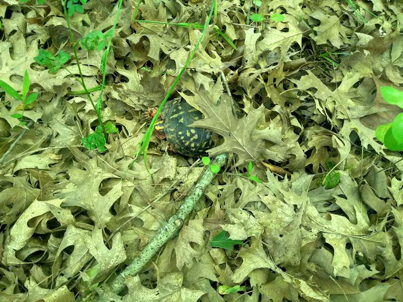 Well Hidden Turtle
