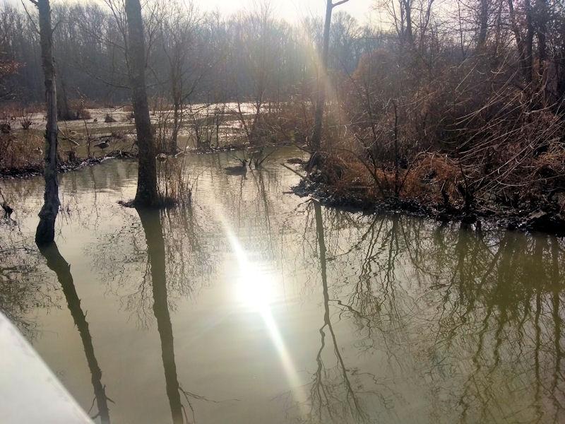 Ducks in Wetlands Area