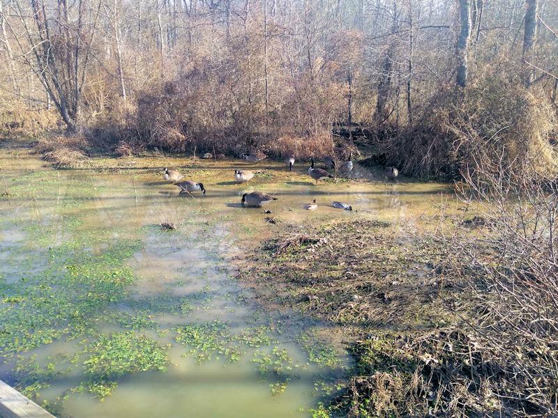 More Ducks @ Wetland