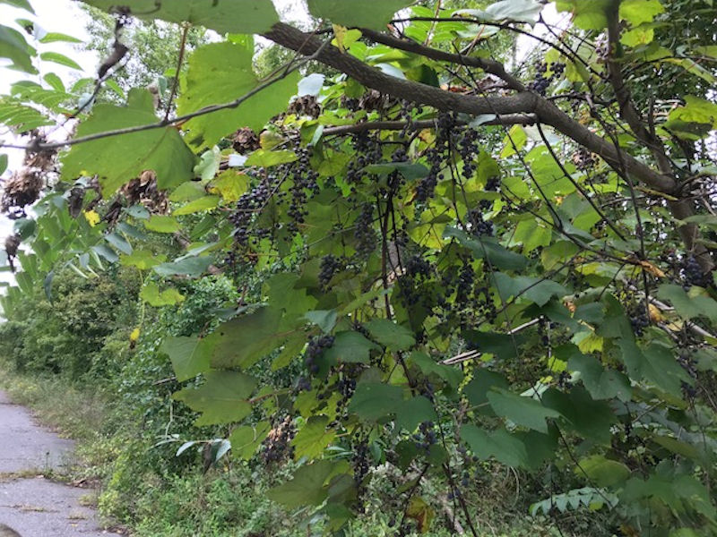 Wild grapes near western terminus