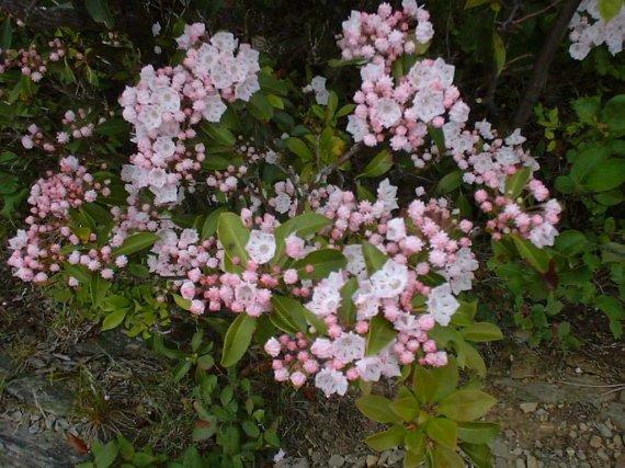 Rhododendron, SNP, VA