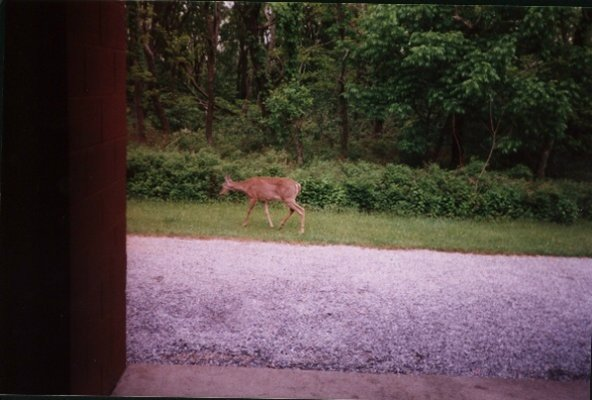 A deer at Loft Mountain camp store