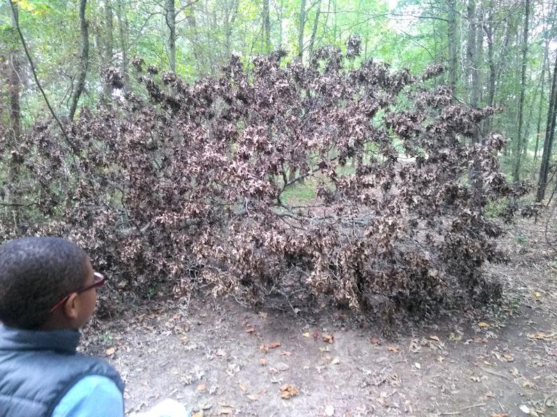 Blowdown on AL Regiment Cemetery Trail