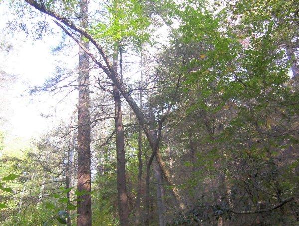 Huge trees along Ramsey's Draft