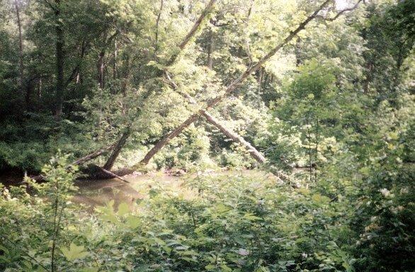Cris-crossing trees along Little Passage Creek